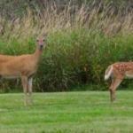 Deer Delight